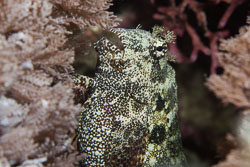 BD-141013-Komodo-4833-Salarias-ceramensis.-Bleeker.-1853-[Seram-blenny].jpg